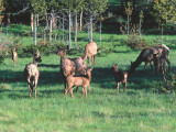 Herd of Elk Forages for Food Photographic Print by Jeff Foott