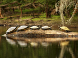 Florida, High Springs, a Group of Suwannee Cooters Share a Log on a Quiet Stretch of the Santa Fe Photographic Print by Jon M. Fletcher