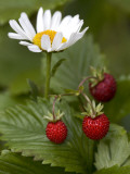 Close-Up of a Flower with Wild Three Strawberries Fotografie-Druck