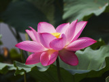 China, Sichuan Province, Lotus Flower in the Pond Photographic Print by Keren Su