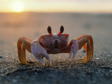 Fiddler Crab Sits on Beach Photographic Print by Jeff Foott