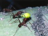 Harvester Ants Carry Buds Photographic Print by Jeff Foott