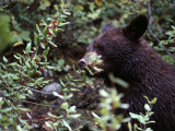 Black Bear Eating Berries Photographic Print by Jeff Foott