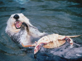 Sea Otter Eating a Crab Photographic Print by Jeff Foott