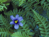 Detail of Blue-Eyed Grass Photographic Print by Jeff Foott