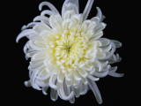 China, White Chrysanthemum Photographic Print by Keren Su