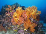 Brightly Colored Soft Coral Growing on a Coral Reef in Ocean Water, Suluwesi, Indonesia Photographic Print