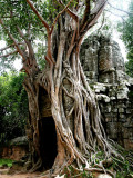 Jungle Trees in Angkor Wat Photographic Print