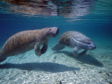 West Indian Manatee Photographic Print by Jeff Foott