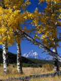 Grand Teton Framed by Aspens Photographic Print by Jeff Foott