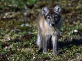 Arctic Fox Cubs Near Den Site Photographic Print by Jeff Foott
