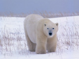 Male Polar Bear Photographic Print by Jeff Foott