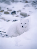 Arctic Fox Huddles in Snow Photographic Print by Jeff Foott