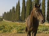 Horses on Farm in Siena, Italy Photographic Print