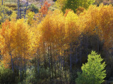 Aspen Grove in Grand Teton Np Photographic Print by Jeff Foott