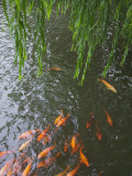 China, Shanghai, Yu Yuan Garden, Willow Tree with Gold Fish in the Pond Photographic Print by Keren Su