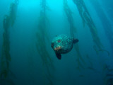 Harbor Seal in Kelp Photographic Print
