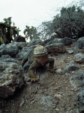 Land Iguana Sitting on Ground Photographic Print by Jeff Foott