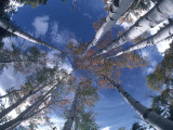 Aspen Trees Touch the Sky Photographic Print by Jeff Foott