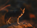 Coyote Stands on Boulder Photographic Print by Jeff Foott