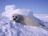 Harp Seal Pup Photographic Print by Jeff Foott