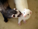 Ferret Kissing Ferret Photographic Print