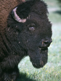 American Bison Bull Photographic Print by Jeff Foott