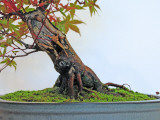 Acer Palmatum, Japanese Maple Bonsai Tree Trunk Photographic Print
