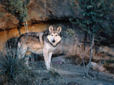 Mexican Wolf, Side View Photographic Print by Jeff Foott