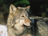 Detail of Head of Gray Wolf Photographic Print by Jeff Foott