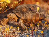 Desert Tortoise Moves Slow Photographic Print by Jeff Foott