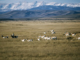 Pronghorn Antelope Photographic Print by Jeff Foott