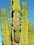 Cardon Cactus, Baja Photographic Print by Jeff Foott