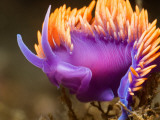 Spanish Shawl Nudibranch Photographic Print