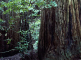 Giant Redwood National Park Photographic Print by Jeff Foott
