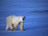 Polar Bear Walking on Sea Ice Photographic Print by Jeff Foott