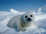 Detail of Harp Seal Pup Photographic Print by Jeff Foott
