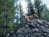 Puma in Forest on Rock Photographic Print by Jeff Foott