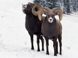 Male Bighorn Sheep in Snow Photographic Print by Jeff Foott