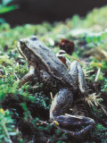 Red-Legged Frog Photographic Print by Jeff Foott