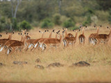 Impala Run Together Photographic Print by Jeff Foott