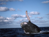 Humpback Whale Breaches Photographic Print by Jeff Foott