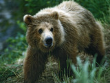 Brown Bear, 2 Year Old Photographic Print by Jeff Foott