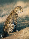 Profile of Sitting Leopard Photographic Print by Jeff Foott