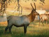 Elk Stands in Field Photographic Print by Jeff Foott