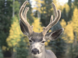 Large Ears and Antlers Photographic Print by Jeff Foott