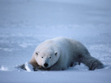 Polar Bear Lies in Snow Photographic Print by Jeff Foott