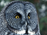 Great Grey Owl Portrait Photographic Print by Jeff Foott