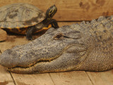 Louisiana, Natchitoches, a Large Alligator and Turtle Make Strange Friends at a Gator Farm Photographic Print
