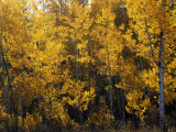 Aspen Grove in Grand Teton Np Photographic Print by Jeff Foott